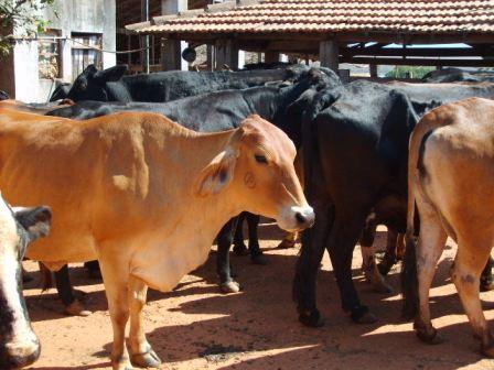 Alto Paranaíba é a região com mais fazendas livres da brucelose bovina