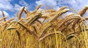 Minas deve colher 120 mil toneladas de trigo na safra 2013/2014