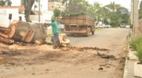 Árvore condenada é retirada na avenida Paranaíba, em Patos de Minas