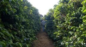 Certifica Minas Café deve atingir a marca de 1.700 propriedades certificadas em 2014