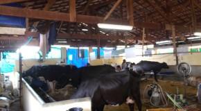 Oito animais competem no Torneiro Leiteiro do Girolando na ExpoAraxá2014