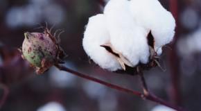 Safra mineira de algodão é favorecida pelo aumento da produtividade