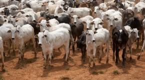 Prazo para vacinação do gado contra febre aftosa termina no próximo dia 31
