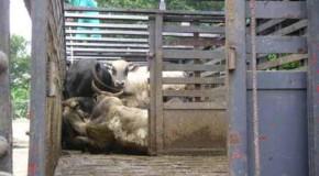 Decreto desburocratiza transporte de animais e retira entraves para pecuaristas de Minas Gerais