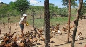 Curso de Galinha Caipira direciona pequenos produtores à qualidade e eficiência produtiva