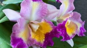 Araxá recebe 20ª Feira de Orquídeas a partir de sete de março