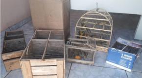 PM prende acusados com 71 aves silvestres em Campos Altos