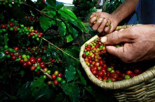 BDMG amplia desembolsos e fomenta indústria do café em Minas