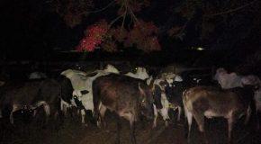 Operação conjunta prende acusado de furto de gado e recupera animais em Sacramento