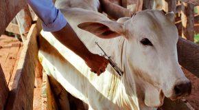 Web-rádio: Vacinação contra a febre aftosa começa em Minas Gerais