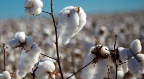 Web-Rádio: Começa vazio sanitário do algodão e do feijão em Minas Gerais