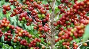 Brasil colherá este ano 47,54 milhões de sacas de café
